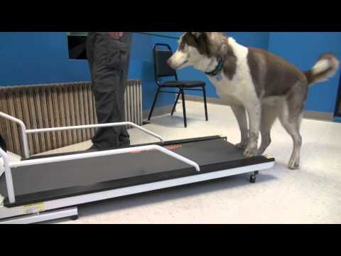 tire out a dog on treadmill