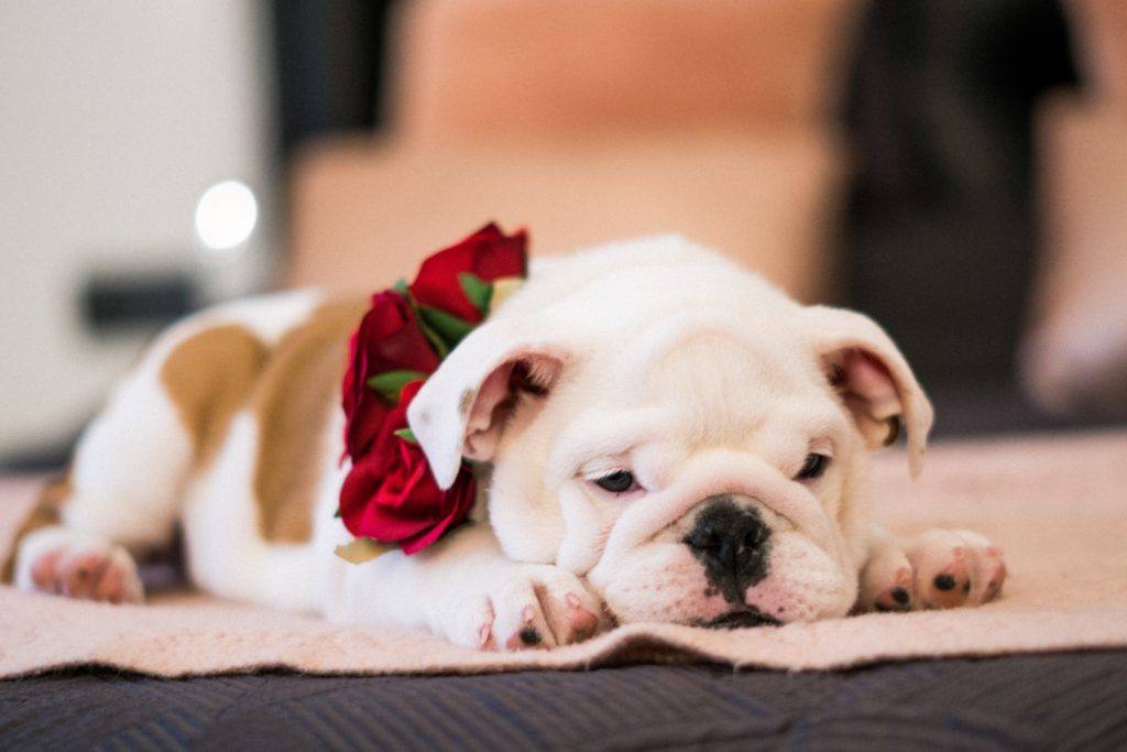 Best Dog Food for English bulldog puppies
