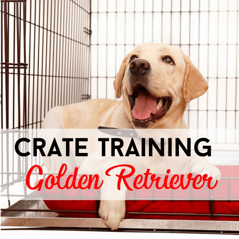 Crate Training Golden Retriever
