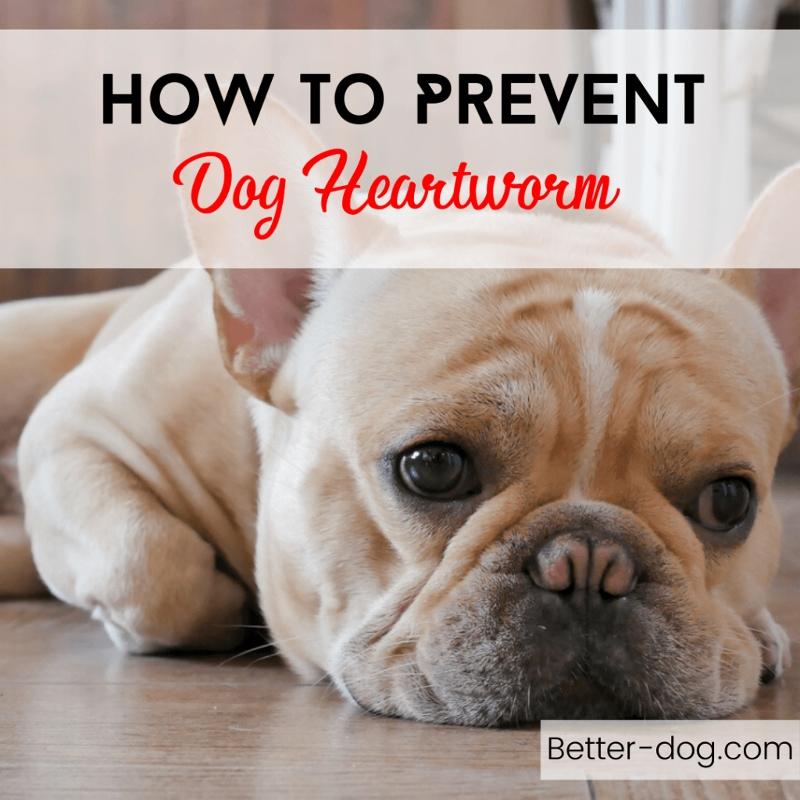 How To Prevent Dog Heartworm